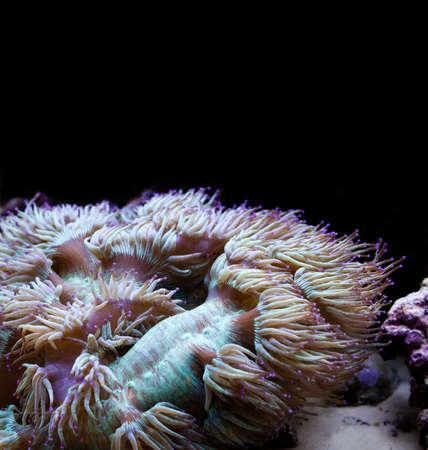invertebrates: Tropical aquarium with marine invertebrates. Actiniaria. Heteractis malu, Radianthus malu. Dark background.
