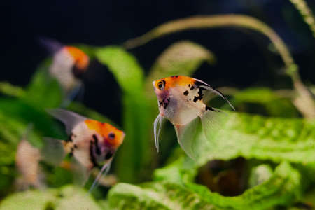 Freshwater aquarium. Tank with fishes, Pterophyllum scalare. soft focus, vintage paper background Stock Photo