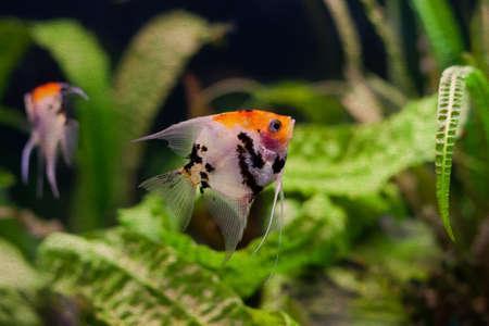 Freshwater aquarium. Tank with fishes, Pterophyllum scalare. soft focus, vintage paper background Imagens