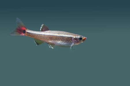 freshwater pearl: Tanichthys albonubes. White Cloud Mountain minnow. Beauty aquarium fish in deep water background. macro view, soft focus