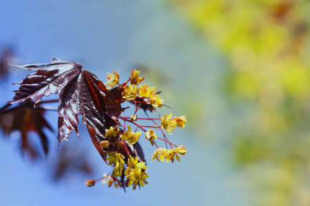 norway maple: Spring flowers of the maple tree. Sunlight. Macro view, soft focus. retro style colors Stock Photo