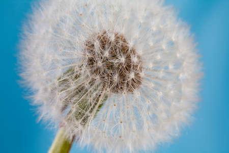 blowball: Dandelion, blowball, taraxacum macro view. Detail of flowering white dandelions flower. Blue sky background. soft focus.