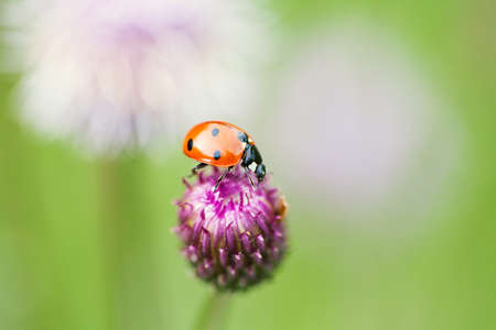 lady beetle: Green nature ecological concept. Small red ladybug. Lady bird on a top blue, violet flower. Centaurea jacea, basketflowers. Soft and blurry garden background. Copy space. Macro photo. Stock Photo