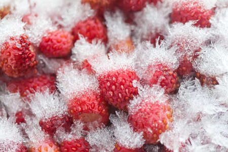 cold storage: Cold storage concept. Frozen wild strawberries in the refrigerator. Small sweet red fruit berries with ice and snow crystals a seed-studded surface, texture. Closeup, detailed. Soft focus