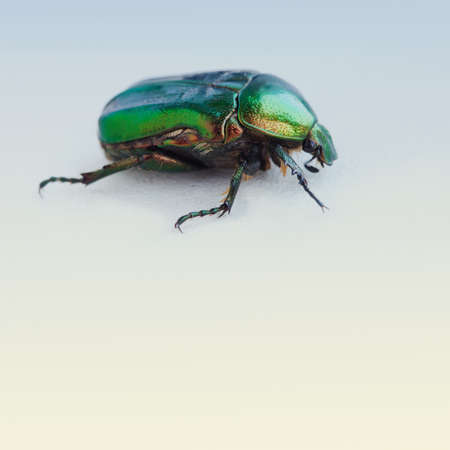 chitin: Flower rose chafer. bronze, green color chitin. Multicolor pearl bug. Close-up. Retro colors background.