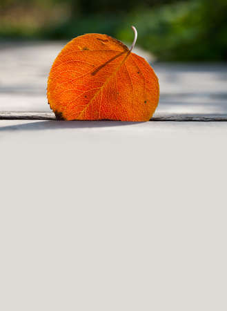 aspen leaf: Fall, autumn concept. Orange aspen leaf against sunlight. Close up. Leaf detail, textured and silhouette. Soft focus. copy space. Stock Photo