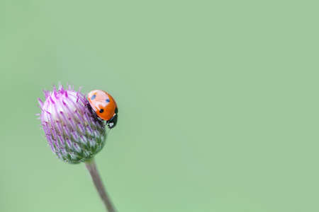 lady bird: Green nature ecological concept. Small red ladybug. Lady bird on a top blue, violet flower. Centaurea jacea, basketflowers. Soft and blurry garden background. Copy space. Macro photo. Stock Photo