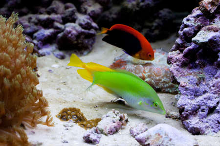 chaetodon: Yellow, green, red fish. Chaetodon. soft focus. soft focus