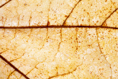 frondage: Colorful dry maple leaf closeup