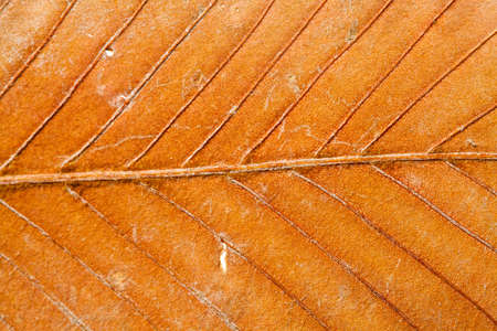 senescence: Colorful dry leaf closeup Stock Photo