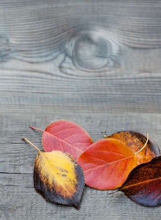 simple life: Orange, yellow, brown aspen leaves on the wooden gray background. Stock Photo