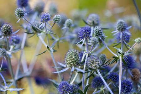 Eryngium planum. Blue Sea, violet holly healthcare flowers.