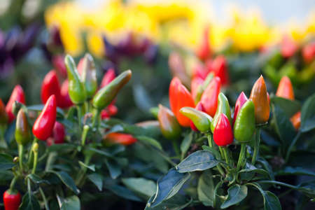 green pepper: Decorative ripe red and green pepper plants and hot peppers. Stock Photo