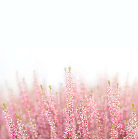 nature and beauty: Violet Heather flowers. Small violet, pink flowers. white background.