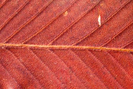 capillary: Abstract pattern of autumn leaf Stock Photo