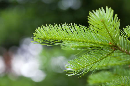 plant growth: Natural green spruce branch soft and blurry background. macro view, soft focus.