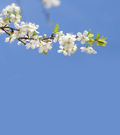 copy space: Apple tree blossom branch. blue sky background, copy space.