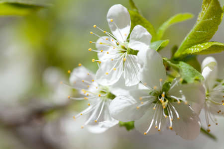 macr: Macr view apple blossoms tree. White flowers in spring time. Soft focus.