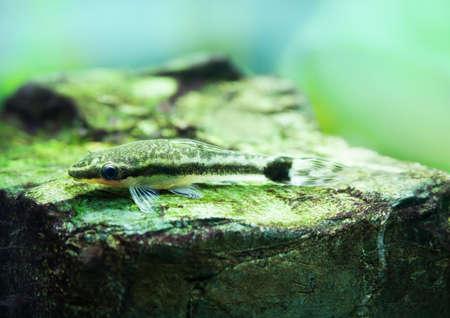 vittatus: Otocinclus macrospilus vitattus fish. Armored oto catfish dwarf sucker. perfect algae eater. macro view Stock Photo