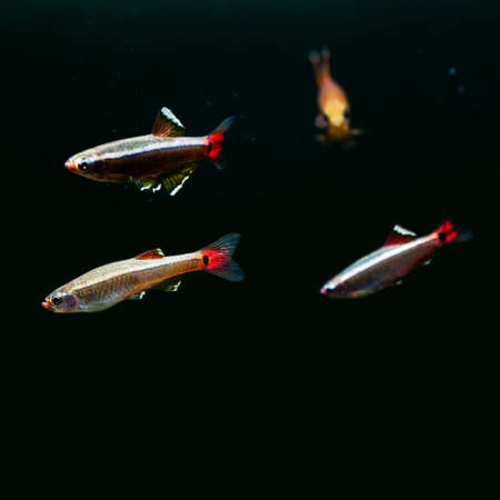 freshwater pearl: Colorful fishes. White Cloud Mountain minnow fish on black background. macro view, shallow depth of field. copy space Stock Photo
