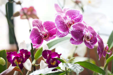 orchidaceae: Orchidaceae Phalaenopsis. Orchids. Beautiful pink, red, violet orchid flowers closeup. shallow depth of field Stock Photo