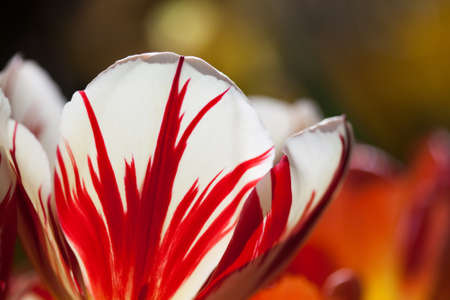 innate: Red white colorful tulip flower unusual petal pattern. Macro view natural flowers petals. Bright nature concept. soft focus, blurry background