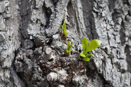 arbol alamo: Growing up concept. Old poplar tree with young shoot and green leaves. Spring scene with gray tree trunk. Foto de archivo