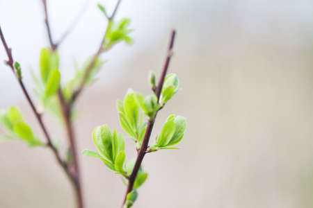 on looker: Tree branch macro view. Green leaves texture, springtime and new life concept. soft pastel background. shallow depth of field.