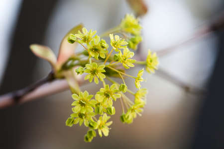 embryonic: Blooming maple. Tree branch with yellow flowers. soft focus. Spring nature landscape