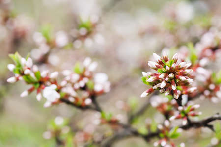 pedicel: Springtime garden landscape with chinese cherry shrub. White and pink flower buds close-up. Prunus tomentosa plant. Stock Photo