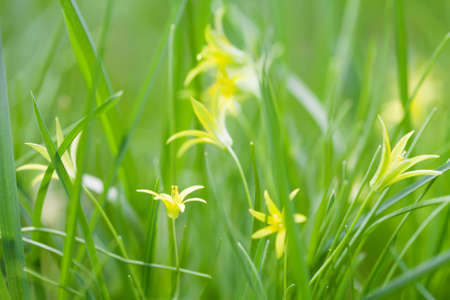 carpels: Small yellow Gagea lutea flowers, fresh grass background. Yellow Star of Bethlehem spring flowers in the lily family. Perennial herb, first plant in broad-leaved forests.