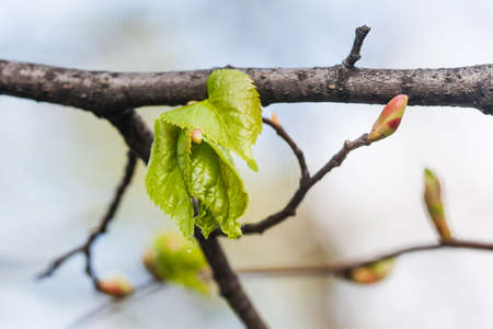 embryonic: Linden twig, branch with fresh green leaf. Budding, embryonic shoot macro view. soft background. Stock Photo