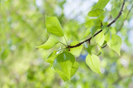 arbol alamo: hojas verdes sobre fondo verde. rama de un árbol de álamo vista macro. El tiempo de primavera concepto, día soleado