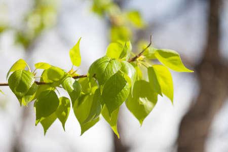 arbol alamo: rama de un árbol de álamo con las hojas verdes frescas. parque de día soleado