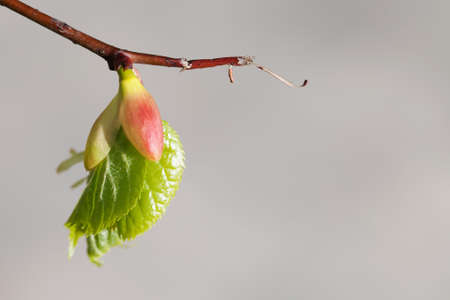 embryonic: Linden tree bud, embryonic shoot with fresh green leaf. macro view tree branch, gray background. spring time concept Stock Photo
