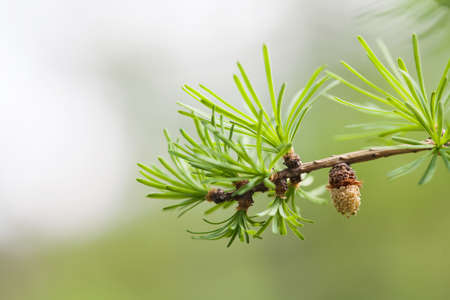 spring bud: Evergreen spruce branch with bud, young fir-cone. Spring nature concept. macro view Stock Photo