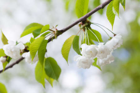 crab apple tree: Blooming plumleaf crab apple, chinese apple branch. Malus prunifolia ornamental tree with white flowers.