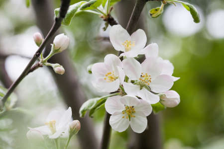 detailed image: Apple flowers macro view. Blooming fruit tree. pistil, stamen, petal detailed image. Spring nature landscape. Plant in the park