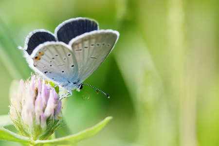 polyommatus icarus: Colorful butterfly closeup. Blue orange gossamer-winged Polyommatus icarus on clover flower. Summer time landscape, macro view Stock Photo