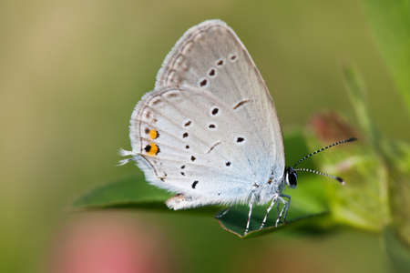 polyommatus icarus: Blue wings butterfly macro. gossamer-winged Polyommatus icarus sitting on green leaf. macro nature concept. shallow depth of field, soft focus