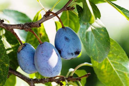 Ciruelas maduras violetas azules, rama de árbol con frutas orgánicas. poca profundidad de campo Foto de archivo