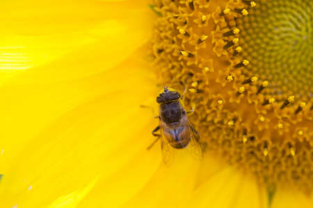 syrphidae: Sunflower and hoverfly Eristalis, macro view. Yellow petals flower with fly. Shallow depth of field