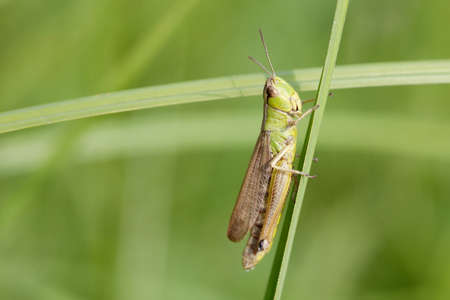 chorthippus: Green grasshopper on a herb. insect macro view, shallow depth of field, horizontal Stock Photo