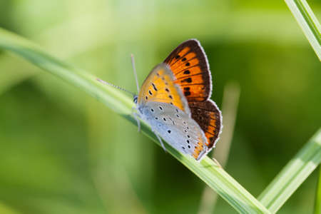 polyommatus icarus: Colorful butterfly closeup. Blue orange gossamer-winged Polyommatus icarus on green grass. macro view shallow depth of field. Soft focus photo