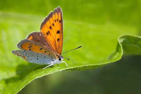 icarus: Blue orange gossamer-winged butterfly. Polyommatus icarus on green leaf background, macro view