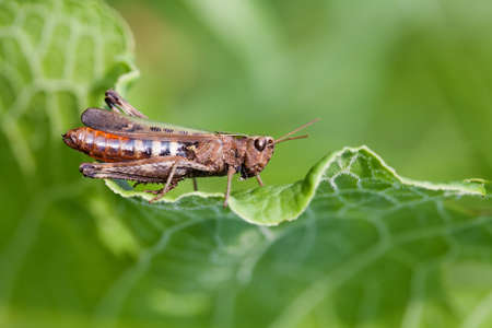 chorthippus: Grasshopper on a green leaf. insect macro view, shallow depth of field, horizontal Stock Photo