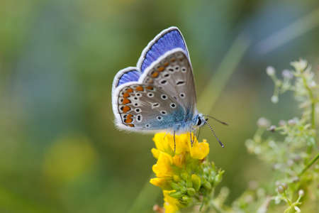 icarus: Colorful butterfly closeup. Blue orange gossamer-winged Polyommatus icarus on yellow flower. Summer time landscape, macro view