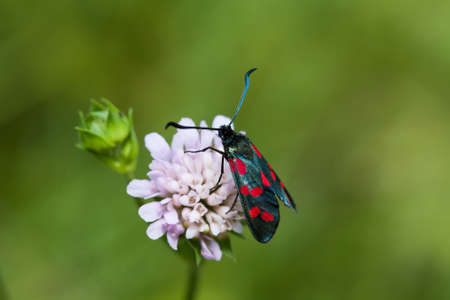 zygaena: Black Butterfly with red spots. Six-spot burnet insect. Zygaena filipendulae macro view, soft focus