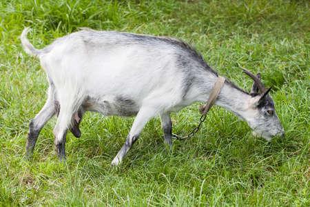 hircus: Goat grazing on a green meadow. Capra aegagrus hircus at summer time