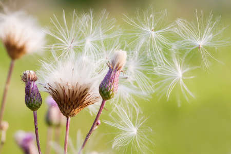 Summer time still life scene with violet flowers and fluffy dandelion flower seeds on green background, macro image